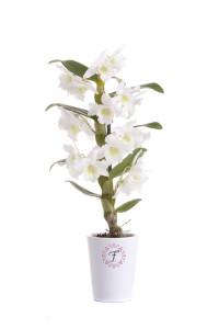 florallure-appolon-mini
