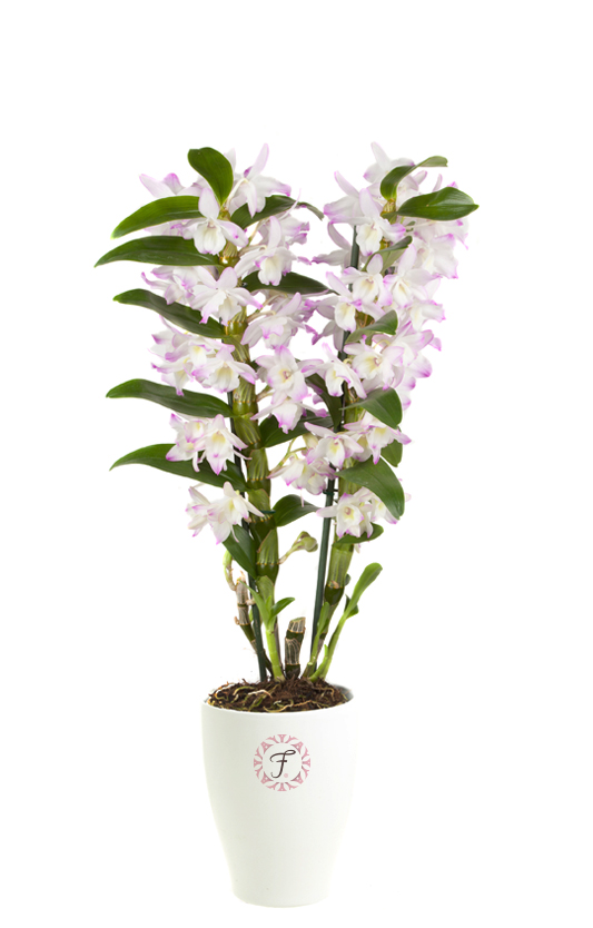 florallure-sea-mary – De Hoog Orchids